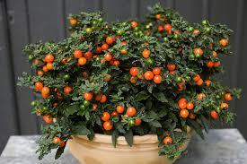 Billedresultat for Solanum diflorum