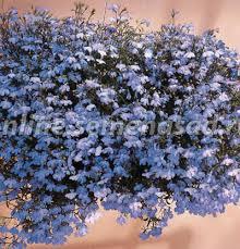 <b>Лобелия</b> - Профессиональные <b>семена</b> цветов - <b>Семена</b> ...