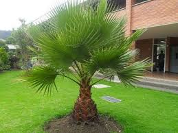 Desert Fan Palm - Washingtonia filifera - YouTube