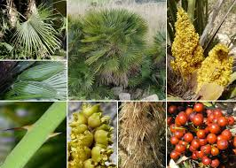 Chamaerops humilis L. - Sistema informativo sulla flora del parco di ...