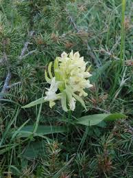Orchis sambucina L.