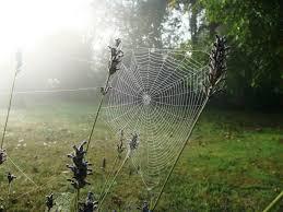 """Résultat de recherche d'images pour """"rosé du matin toile d araigné"""""""