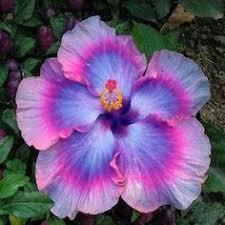 Flowers perennials, Flower <b>seeds</b> и Hibiscus flowers