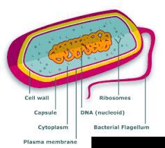 bacteria cell diagram photo album   diagramscollection bacteria cell diagram pictures diagrams