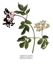 Image result for Elderberry