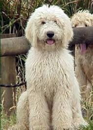 Image result for honey labradoodle