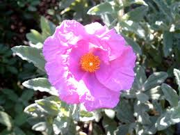 Cistaceae - Wikipedia