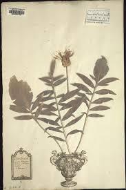 Lectotypification of Centaurea alpina L. (Compositae) and the ...