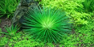 Eriocaulon cinereum - Tropica Aquarium Plants