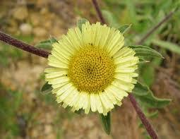 Pallenis spinosa (Spiny Golden Star) : MaltaWildPlants.com - the ...