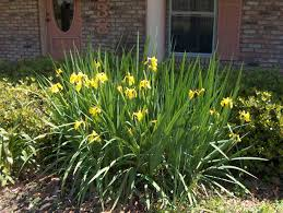 Image result for yellow flag iris