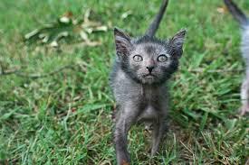 Lykoi : nuova razza di gatti Images?q=tbn:ANd9GcS5Ow5i4DnDdBdoUfdSezIXSRKSetGyIshoA5mW45334xcR1U3e