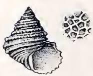 Calliostoma stirophorum - Wikipedia