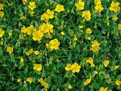 Helianthemum nummularium Common Rockrose, Sun Rose, Rock ...