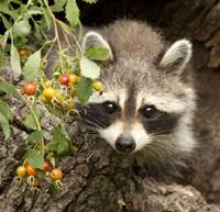 Image result for raccoon trapped in inground trash bin