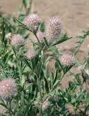 Trifolium arvense Calflora