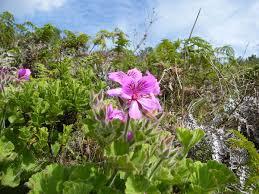 Pelargonium - Wikipedia