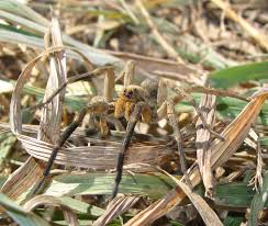 Bug Eric: Spider Sunday: Burrowing Wolf Spider