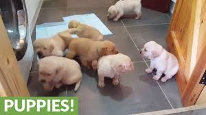 Golden Labrador <b>puppies</b> deliver cuteness overload - YouTube