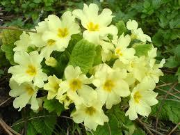Primula vulgaris - Wikipedia
