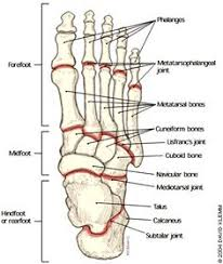 bone jewelry  anatomy and ankle joint on pinterestfoot bone anatomy on healthfavo com   health  medicine and anatomy reference pictures
