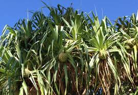 All about the pandanus tree in <b>Hawaii</b> - Travel To Paradise