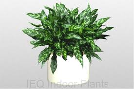 020 aglaonema emerald beauty brisbane office plants