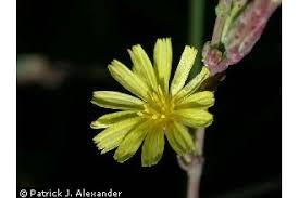 Plants Profile for Lactuca serriola (prickly lettuce)