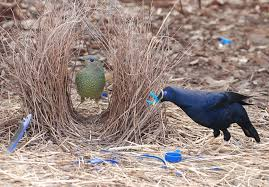 Image result for bowerbird bower