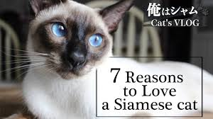 7 Reasons to Love a <b>Siamese Cat</b>|Life with a cat - YouTube