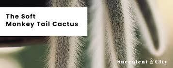 The Soft Monkey Tail <b>Cactus</b> | Succulent City