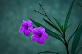 Image result for hoa tím