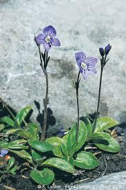 Veronica aphylla L.