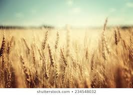 Golden <b>Wheat Field</b> Images, Stock Photos & Vectors   Shutterstock