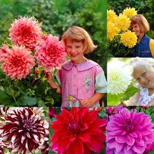 <b>20 pcs</b>/<b>bag</b> Multi-color <b>dahlia</b> seeds, <b>dahlia flower</b>, bonsai <b>flower</b> ...