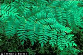 Plants Profile for Osmunda regalis (royal fern)