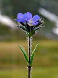 Alpine Speedwell, Veronica alpina - Flowers - NatureGate
