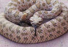Image result for Rattlesnake