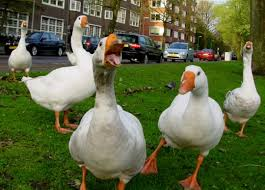 Image result for stupid geese pictures