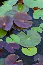 57 Best <b>Lotus Leaves</b> images   <b>Lotus leaves</b>, <b>Lotus</b>, <b>Leaves</b>