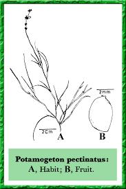 Potamogeton pectinatus in Flora of Pakistan @ efloras.org