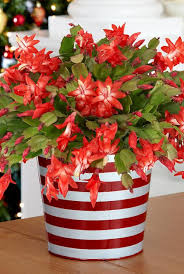 christmas cactus best office plant no sunlight