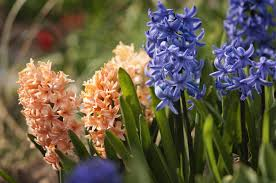 How to Grow and Care for <b>Hyacinth</b>