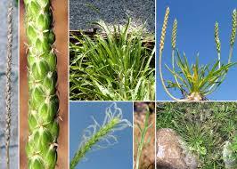 Plantago coronopus L. - Portale sulla flora del Parco Nazionale dell ...