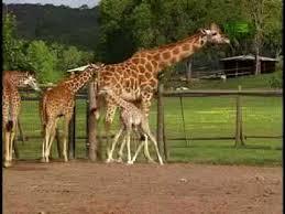 Growing Up <b>Giraffe</b>- Baby <b>Giraffe</b> Fall - YouTube