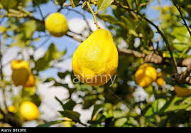 lemon tree x: lemon citrus x limon hanging from a lemon tree la nucia alicante costa blanca spain