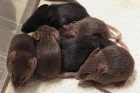 """Résultat de recherche d'images pour """"les souris"""""""