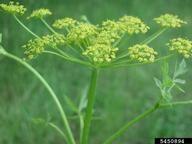wild parsnip: Pastinaca sativa (Apiales: Apiaceae): Invasive Plant ...