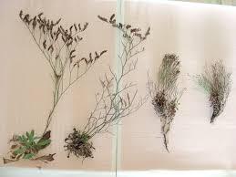 Limonium parvifolium vs. secundirameum e cosyrense - Pantelleria ...