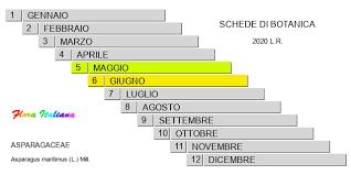 Asparagus maritimus [Asparago costiero] - Flora Italiana